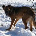 2008 12 28 Kapy qui mange de la neige