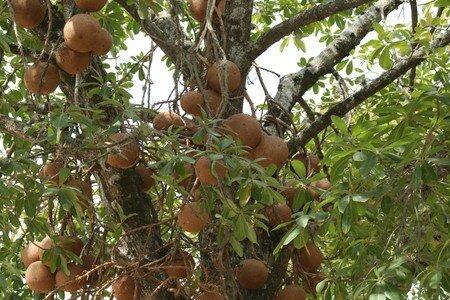 Le blog de b a page 33 le blog de b a - Arbre murier fruit comestible ...