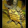 Graptemys flavimaculata