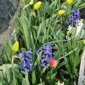 2008 04 16 Mes tulipes, Narcisses et Jacinthes