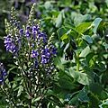 Scutellaria incana et cerinthe major 'purpurascens'