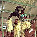 Au plus près des chimpanzés sauvages : un nouvel outil pour les installations des zoos anglo-saxons
