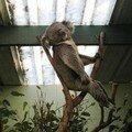 koala tranquille!!!