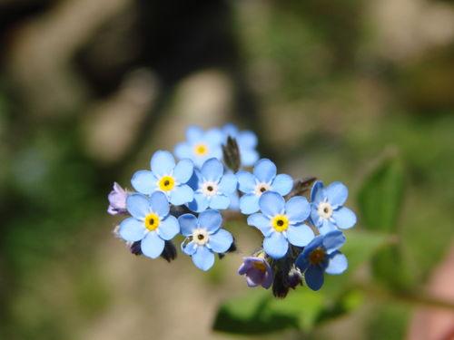 2008 05 07 Des fleurs de Myosotis