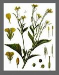 brassica__juncea__brune_