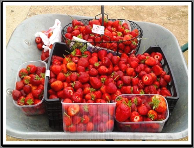 Ceuillette de fraises
