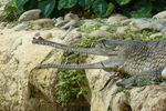 GAVIAL_GUEULE_OUVERTE_large_1_