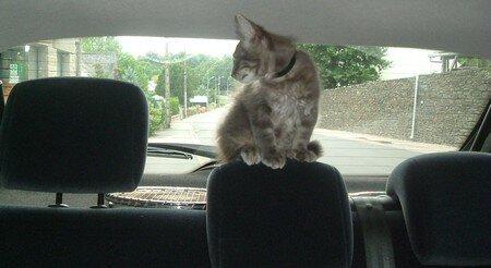 chat_dans_la_voiture