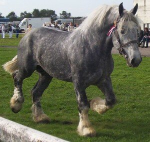 cheval de trait gris