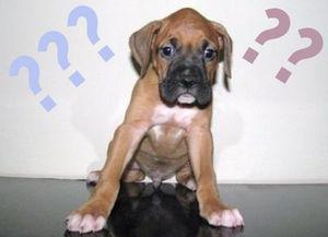 _chiots_boxer_mignon_pour_l_adoption_4d8ca2f664e90ca28302_copier