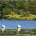 Lac Cygnes et Héron 0110155