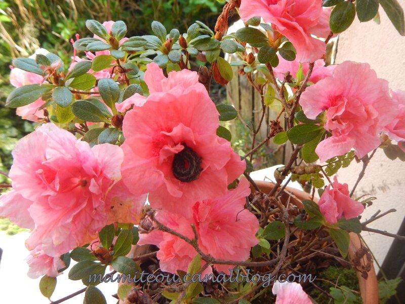 Noctuelle dans une fleur d'azalée (2)
