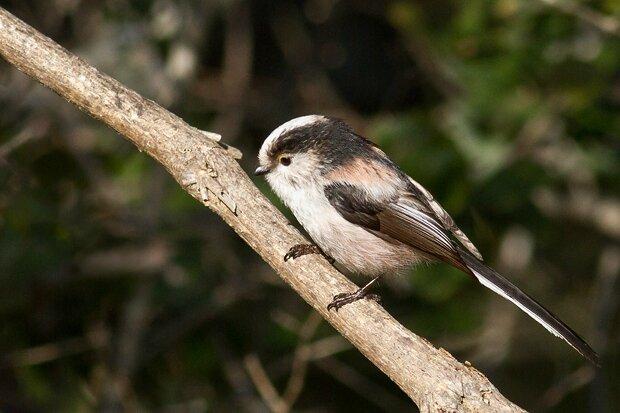Nouveaut s photos d 39 oiseaux for Oiseau longue queue ventre jaune