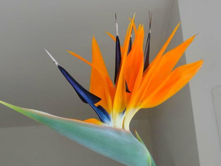 Strelitzia ou Oiseau du paradis