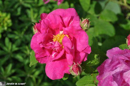 Rosier-botanique-R-Gallica