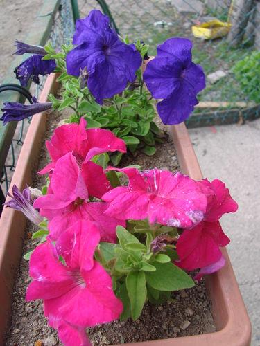 2008 07 11 Des fleurs de pétunia bleu et rouge en fleur en jardinière devant la maison