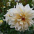 Dahlia blanc crème (Vu à Chaumont-sur-Loire automne 2916)
