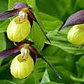 orchidées sauvages des Hautes-Alpes