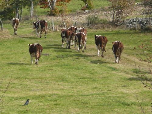 2008 10 13 Les vaches qui partent mangaient