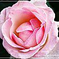 Pp 43/52 - rose