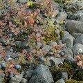 Myrtilles dans le parc national de Skaftafell.