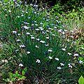 Aphyllanthe de Montpellier Le Siou Blanc