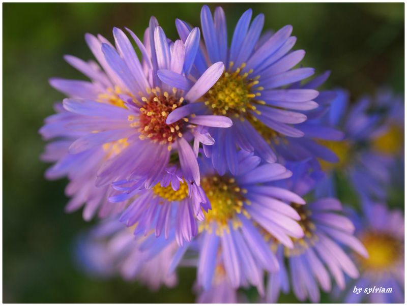 aster vendangeuses