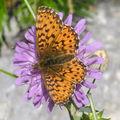 Papillons de l'été: petite violette