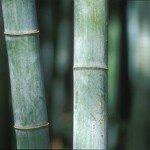 bambu_15