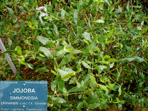 CIMG1393_Jojoba