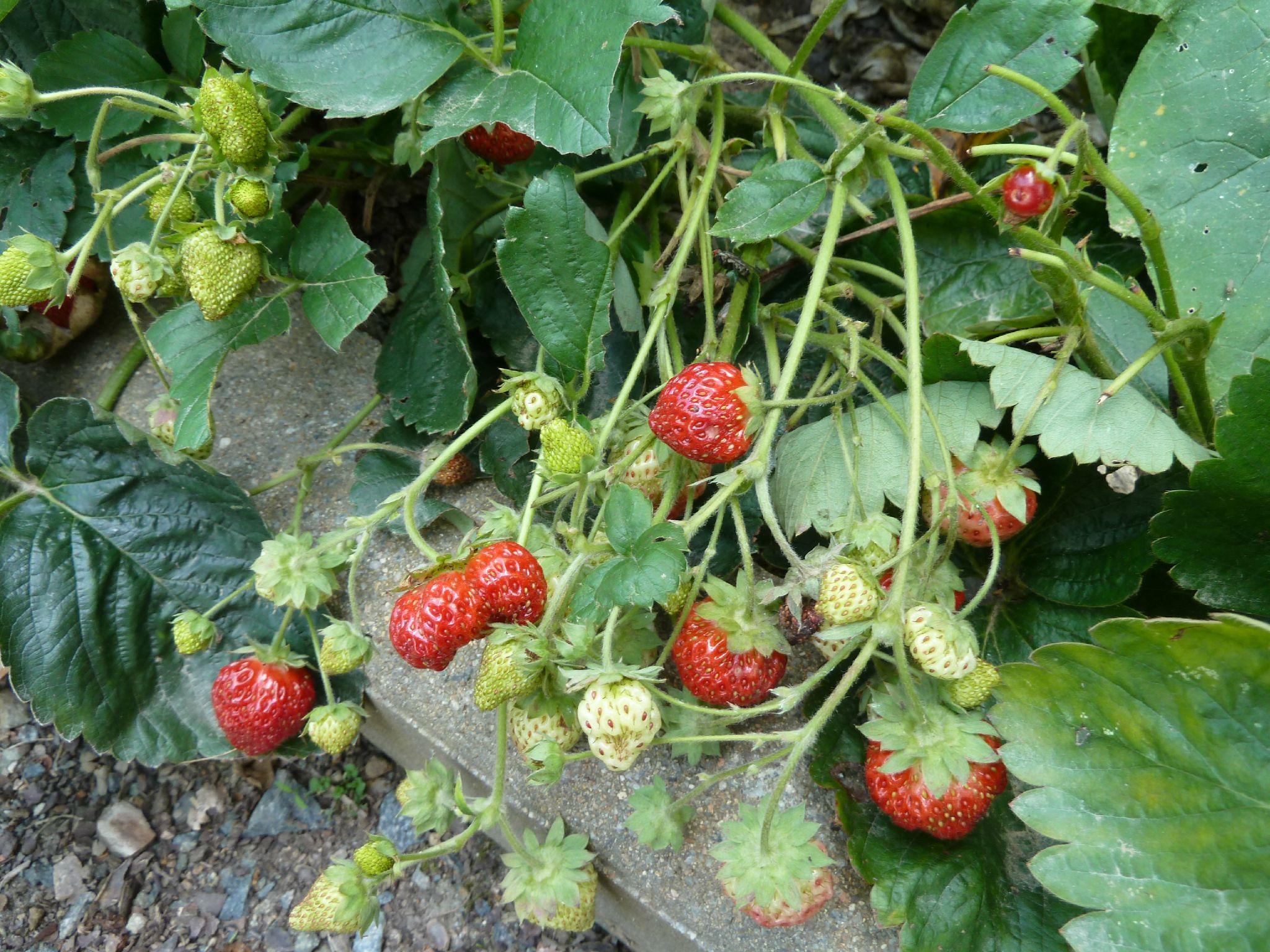 fraisiers en septembre - www.passionpotager.canalblog.com
