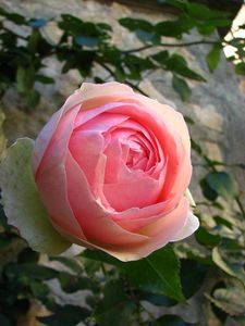 rose_der_rs