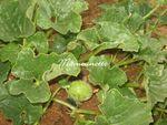Melons, artichauts, groseilles, jardin mardi 31 mai 2011 001
