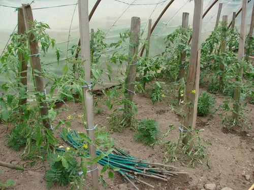 2008 06 09 Mes tomates sous serre