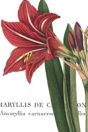 Coeur d 39 amaryllis points de cerise violette for Planter oignon amaryllis