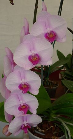 ORCHIDEE_2_ROSES