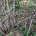 Cèpes noirs dans les broussailles...