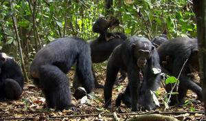 chimpanz_s8