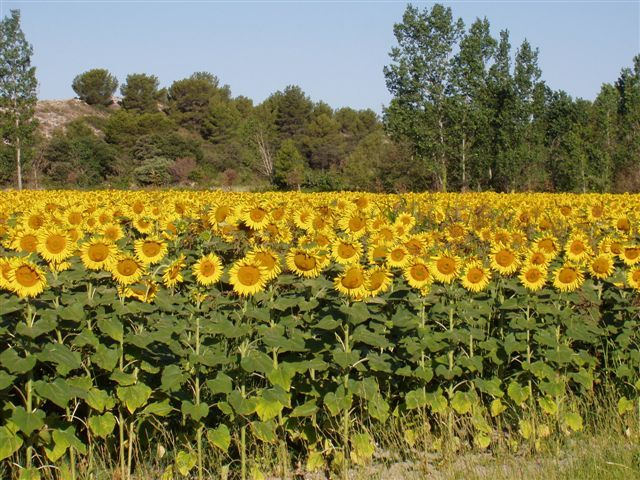 Tournesols de provence photo de couleurs champs le journal de magel - Le journal de provence ...