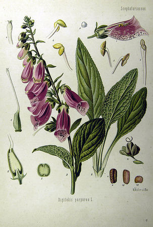 403px_Digitalis_purpurea_Koehler_drawing_1_