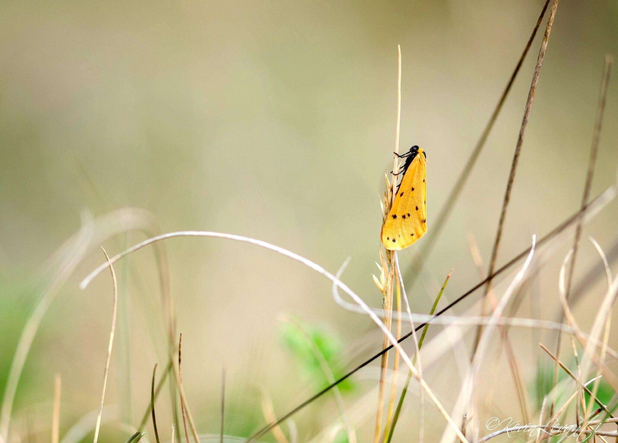 Endrosie diaphane - Setina irrorella (2)