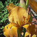 Iris Caramel