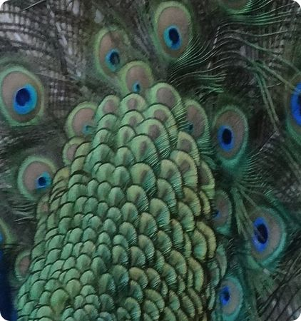 peacock3