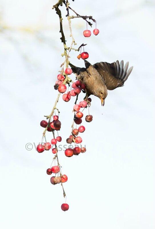 merle-pommes01