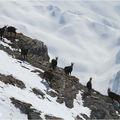 Chamois en ambiance haute-montagne