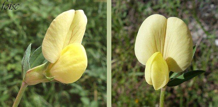 corolle de 20-25 mm jaune souvent veinée de rouge