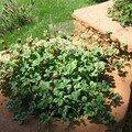 à la recherche du trèfle à quatre feuilles