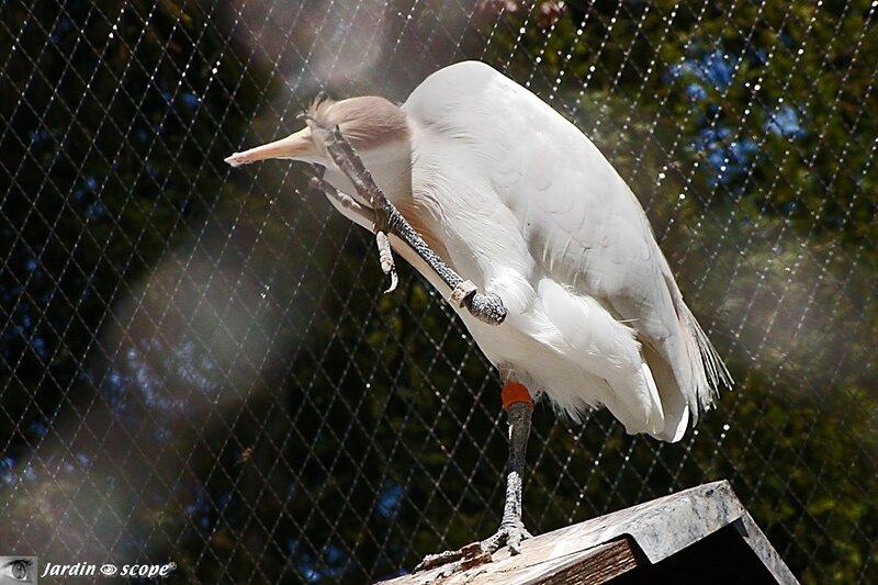 Héron garde-boeuf • Bubulcus-ibis