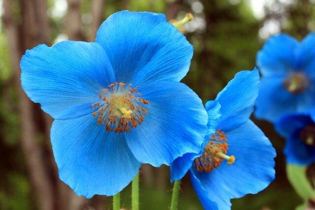 pavot_bleu_Himalaya_jardin_botanique_Akureyri photo de cepob