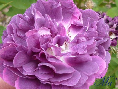 rose_110515_1